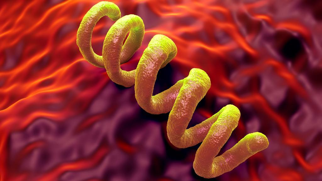 Бледная трепонема – возбудитель сифилиса